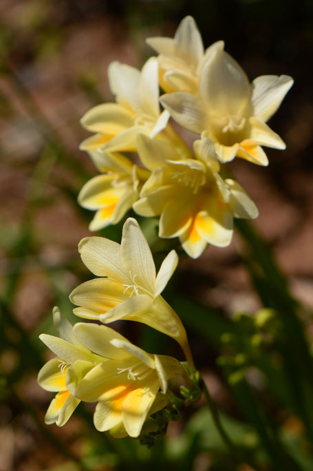 small sunny garden, desert garden, amy myers, photography, freesia, alba, spring bloom, flowers, south african