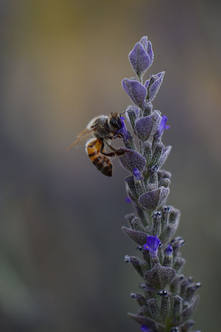 small sunny garden, desert garden, amy myers, photography, garden photography, blog, summer, lavender, bee, goodwins creek gray, lavandula