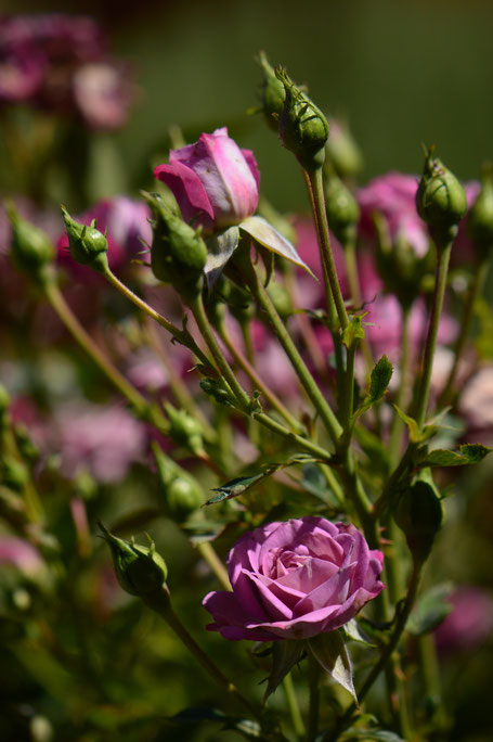 small sunny garden, desert garden, amy myers, photography, tuesday view, miniature rose, kordes lavender