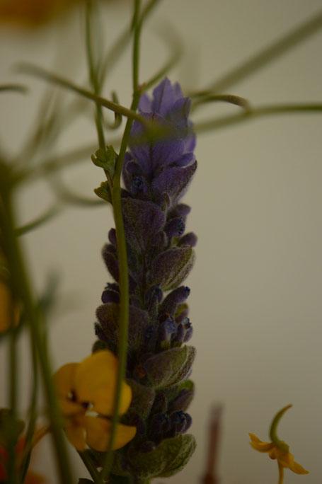 in a vase on monday, monday vase, desert garden, small sunny garden, amy myers, photographer, photography, lavandula, dentata, lavender