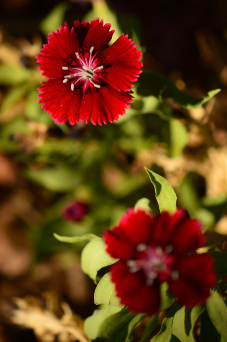 small sunny garden, desert garden, amy myers, garden bloggers bloom day, gbbd, november, photography, dianthus