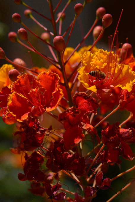 caesalpinia pulcherrima with bee