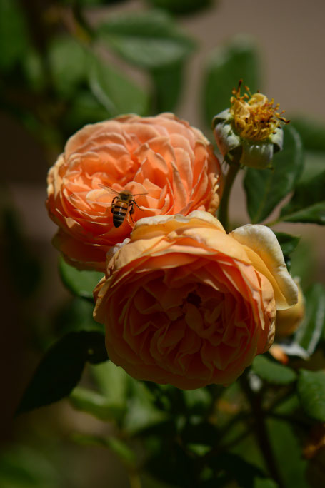 small sunny garden, desert garden, amy myers, photography, garden photography, rose, david austin, crown princess margareta, bee