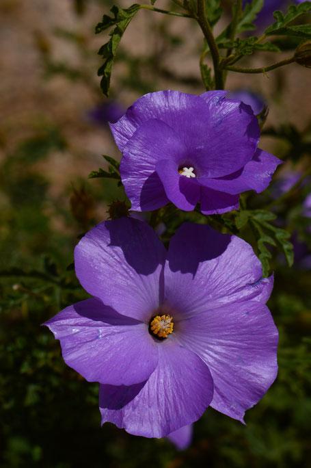 small sunny garden, desert garden, amy myers, photography, garden blog, blue hibiscus, alyogyne, huegelii, australian