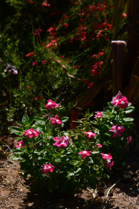 More Catharanthus roseus, here in front of Russelia...