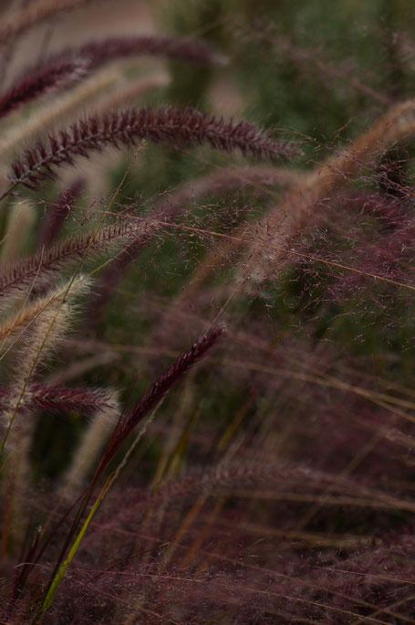 pennisetum setaceum rubrum and muhlenbergia capillaris regal mist