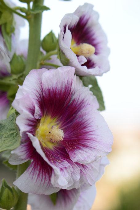 small sunny garden, desert garden, amy myers, photography, garden photography, blog, summer, hollyhock