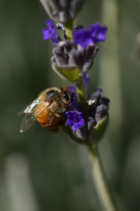 bee, lavender, photography, amy myers, small sunny garden, desert garden