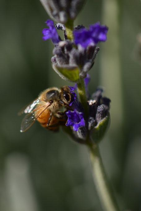 bee, lavender, photography, amy myers, small sunny garden, desert garden