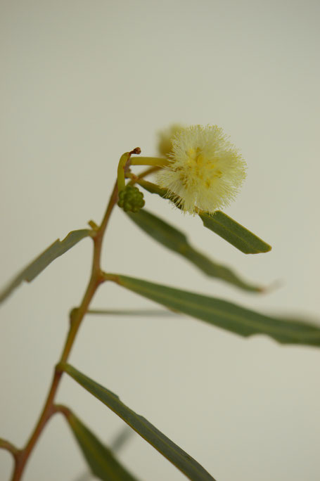 in a vase on monday, monday vase, desert garden, small sunny garden, amy myers, photographer, photography, acacia, salicina, willow acacia, bloom, flowers