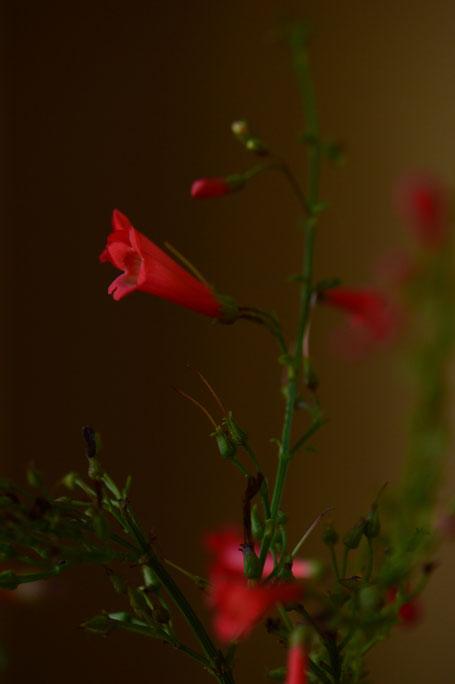 small sunny garden, desert garden, amy myers, in a vase on monday, monday vase, iavom, garden blog, russelia