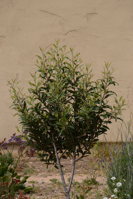 small sunny garden, desert garden, tree following, vauquelinia, californica, arizona rosewood, amy myers, photography
