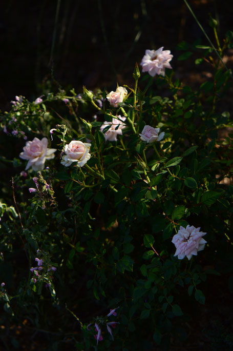 Tuesday view, miniature rose, small sunny garden, desert garden, amy myers, photography