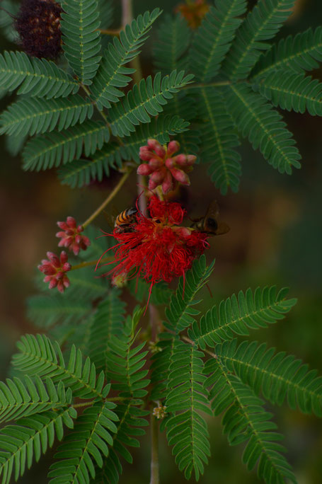 calliandra californica baja red