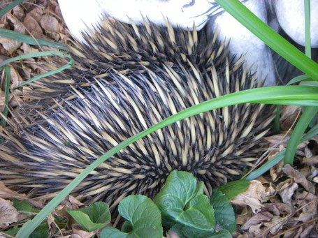 Spring time visitor - an echidna.