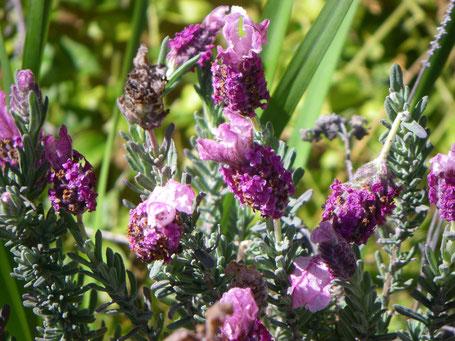 Pink lavender.