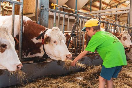 Kinder füttern Kühe im Stall am Kinderbauernhof Salmanner