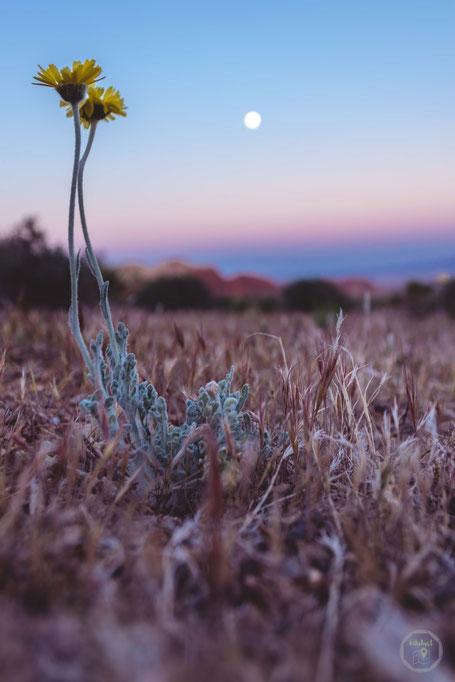 Las Vegas Red Rock Canyon NCA Mond Nachtaufnahme Blume Nah USA erste Nacht