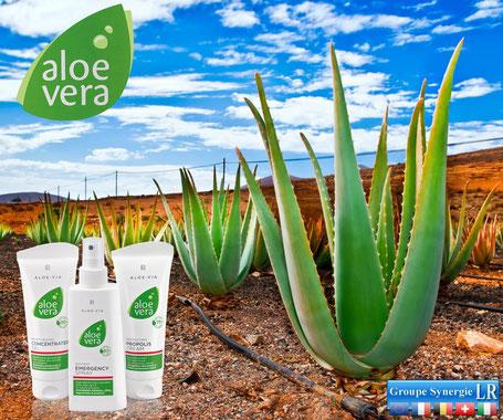 Aloe Vera Barbadensis Miller, la plante qui vous veut du bien
