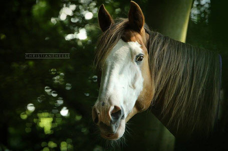 "Fotovorlage Paint Horse ""Smoke"" (Foto: Christiane Heese)"