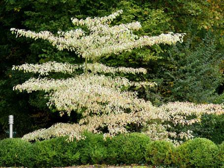 Cornus controversa variegata - weißbunter Etagenhartriegel,  jeden Tage eine Augenweide!