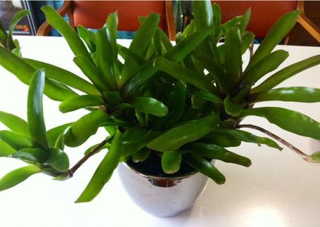 休みの日に、なにかいいのがあればと花屋さんをパトロールしていると初めて見るヤツに遭遇、。 で、即購入。   上は一見ポトスっぽいけどオキシカラジウムって名前の植物。どっちかって言うと、葉に厚みもありモンステラ系の植物みたい、。成長が楽しみ!   下は名前がわかりません!(誰か知ってたら教えて下さい)お店の人もわかんないって、。(汗)       それにしても、いいのに出会えてよかった。。。