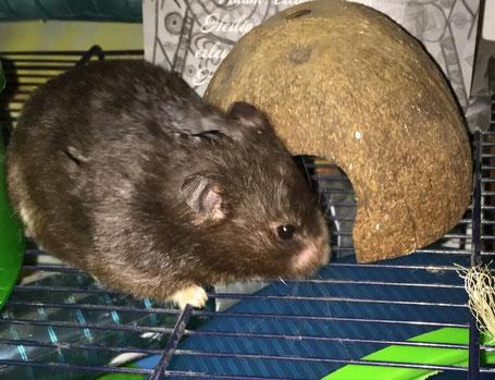 Sorgenfellchen Hamster Alvin