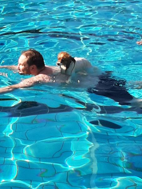 Jack Russel sitztauf Rücken eines schwimmenden Mannes