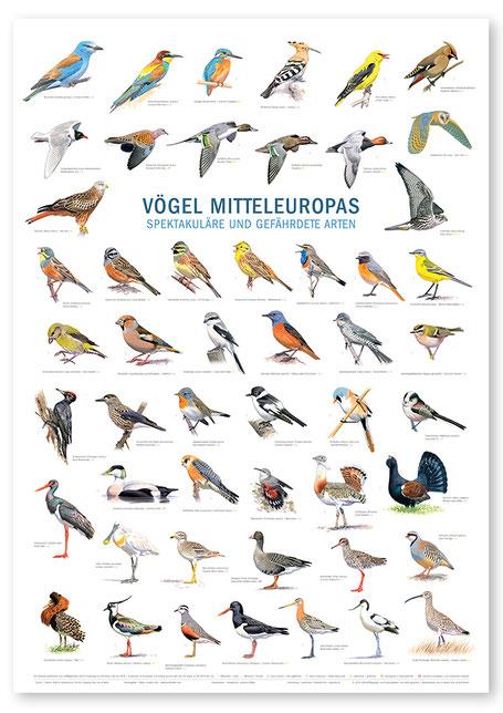 Poster: Vögel Mitteleuropas - Spektakuläre und gefährdete Arten