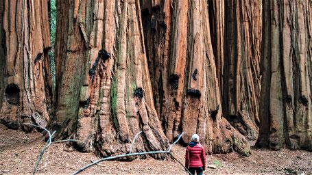 Kalifornien Rundreise Route: Mammutbäume im Sequoia Park