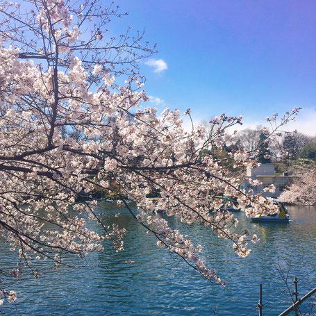 痛くない脱毛サロンDione吉祥寺店 井の頭公園の桜