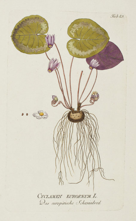 Illustrazione di ciclamino in J.J.Plenck, Icones Plantarum Medicinalium, Vienna, 1788-1803
