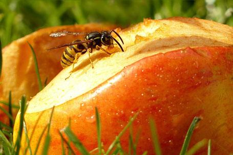 Ratgeber Wespenstiche und Soforthilfe