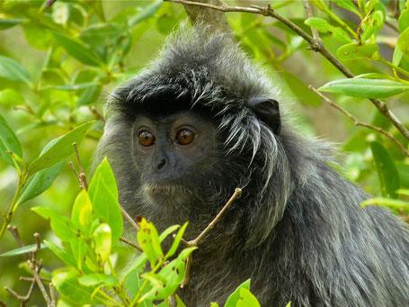 Bijzonder aapje in Sarawak op Borneo