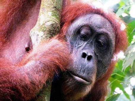 Orang-oetan in Bukit Lawang op Sumatra