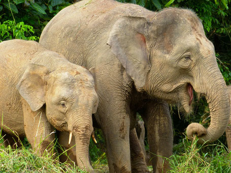 Aziatische olifanten in Sukau in Sabah op Borneo