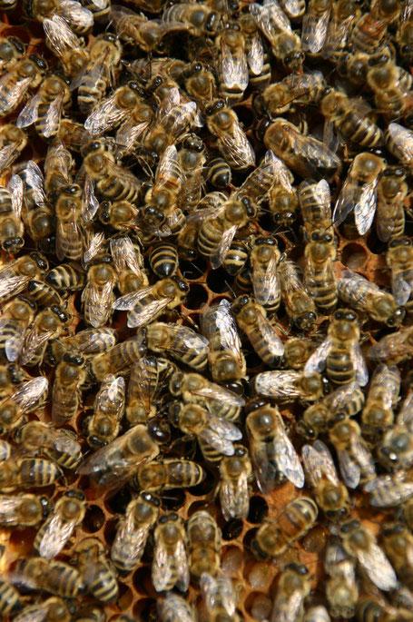 Auf dem Bild sieht man Arbeiterinnen und Drohnen mit ihren großen Augen auf einer Brutwabe. In diesem regen Treiben geht jede Biene ihrer speziellen Aufgabe nach!