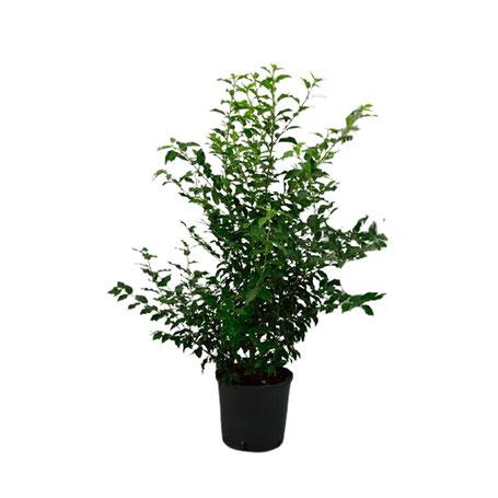 kirschlorbeer-prunus-heckenpflanze-hecke-wuerzburg-unterfranken-online-guenstig-bestellen-kaufen-abholung-lieferung-portugiesischer-lorbeer-immergruen-dicht-schnellwachsend-wintergruen-winterhart