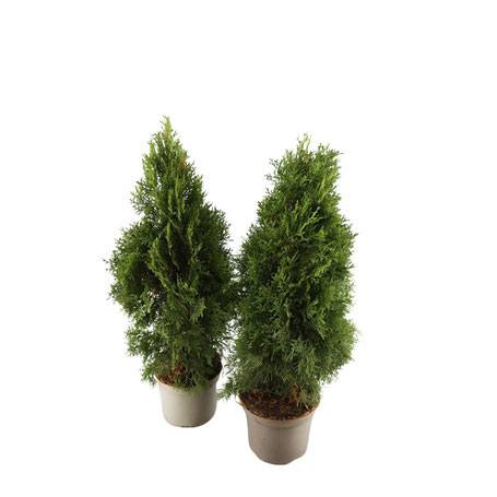 thuja-lebensbaum-hecken-immergruen-wuerzburg-baumschule-guenstig-qualitaet-gartencenter-abholung-lieferung-mengenrabatt-größe-anzahl-tipps