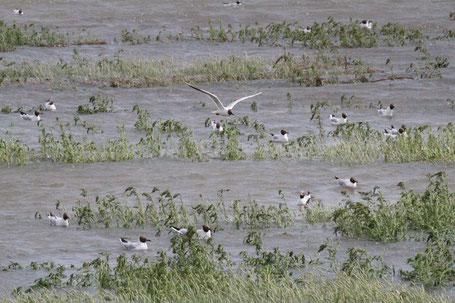 Lachmöwen auf der überfluteten Hallig Habel  Foto: Elisabeth Heimbach