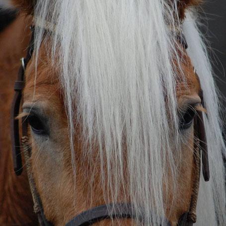 Reiten Pferdekopf Haflinger