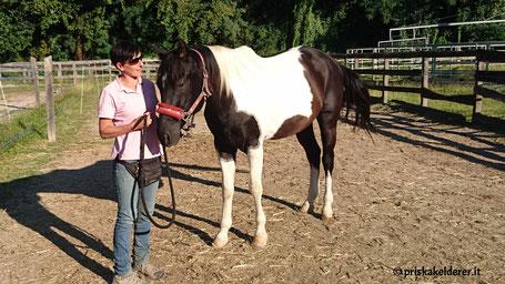 Paint Horse Wallach Sugar Rocky Boy von der Reitschule Priska Kelderer in Kaltern