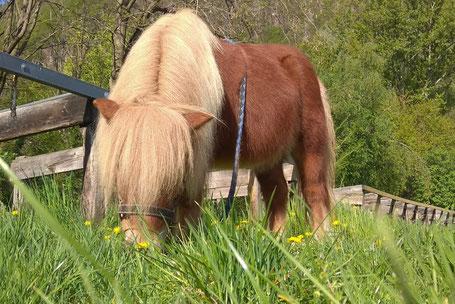 Pony Liesl von der Reitschule Priska Kelderer in Kaltern