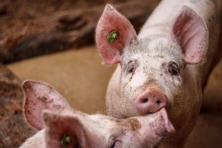 Schwein liegt