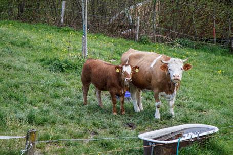 Kuh mit Hörnern und Kalb am Tränkebecken