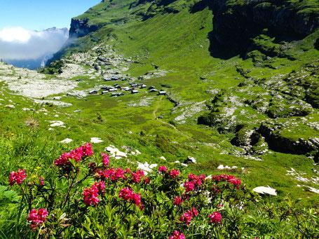 Rhododendrons avec vue sur l'alpage et le refuge de Sales