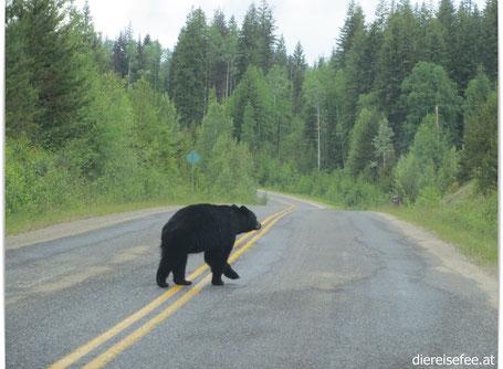 Schwarzbär in British Columbia - Kanada