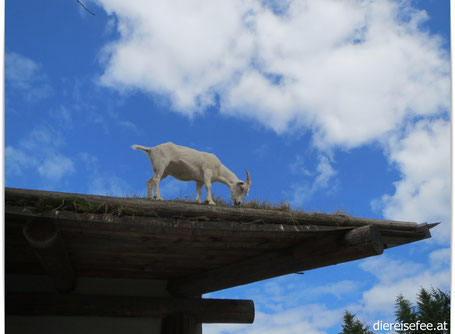 Goats on the Roof - Coombs