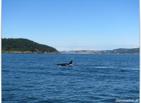 Wal vor der Küste Washingtons
