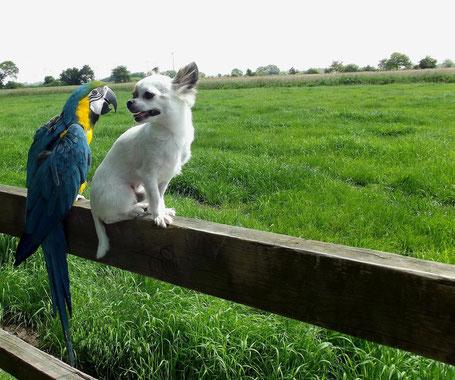 Chi-Love.de | BLOG | Magazin | Netzfundstück | Chihuahua | Foto: Chihuahua und Gelbbrustara sind Freunde